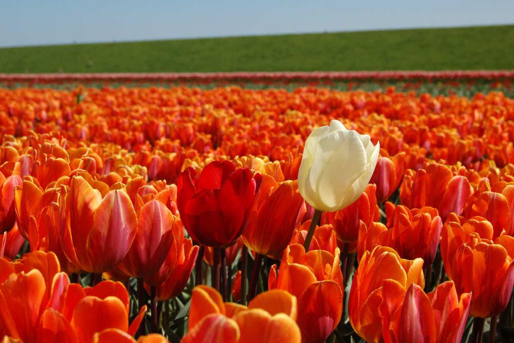 Prins Hendrik polder, tulpenveld