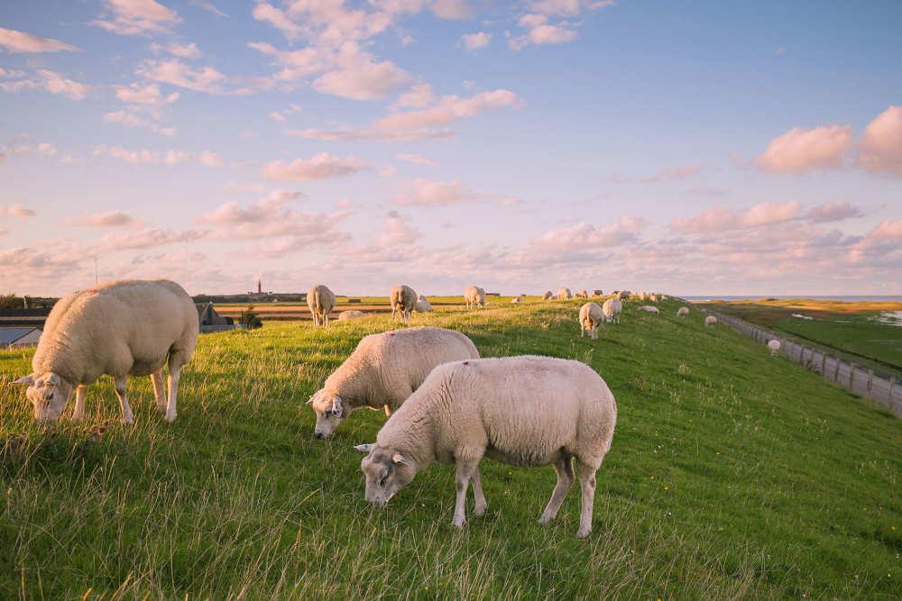 De Cocksdorp, Schafe auf dem Deich