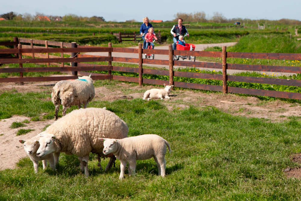 Day of the Sheep, Texel