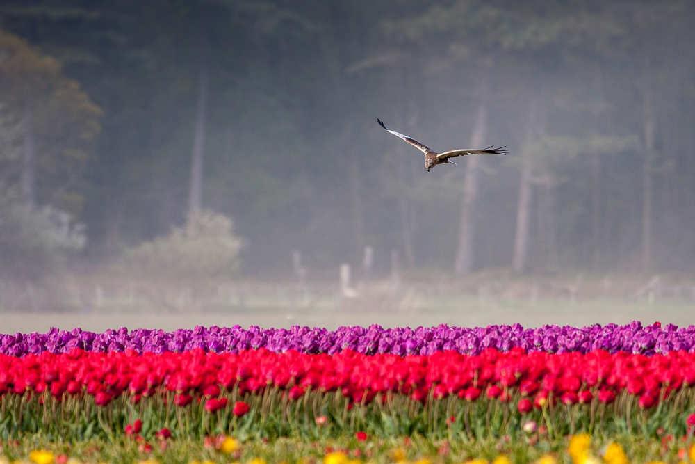 Dennenbos, tulpenveld