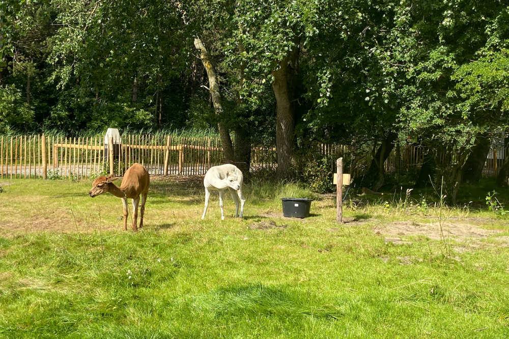Texelse Alpaca's