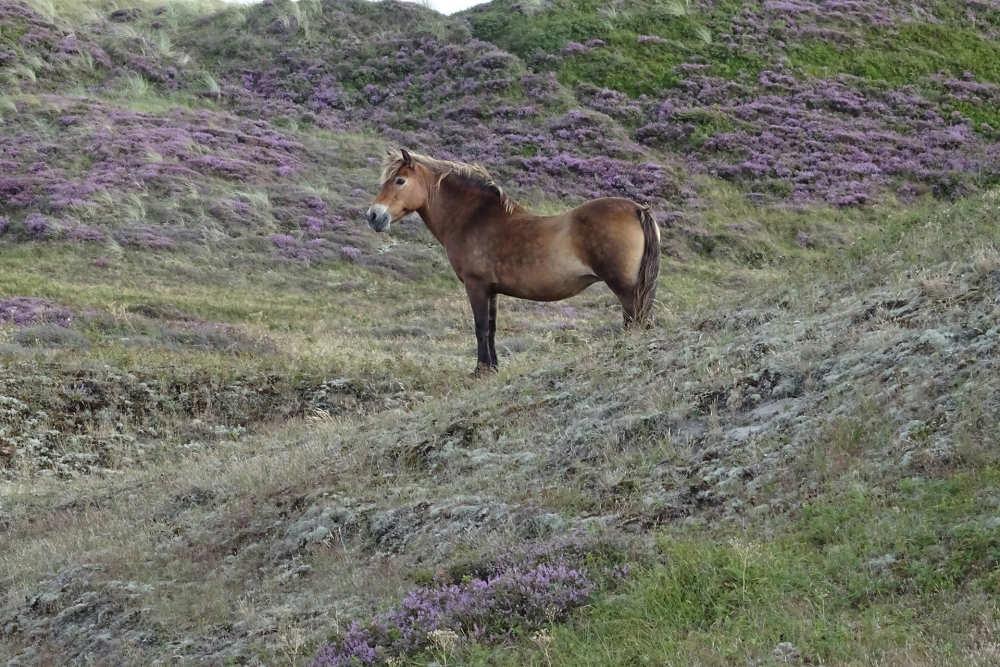 Pferd in de Bollekamer