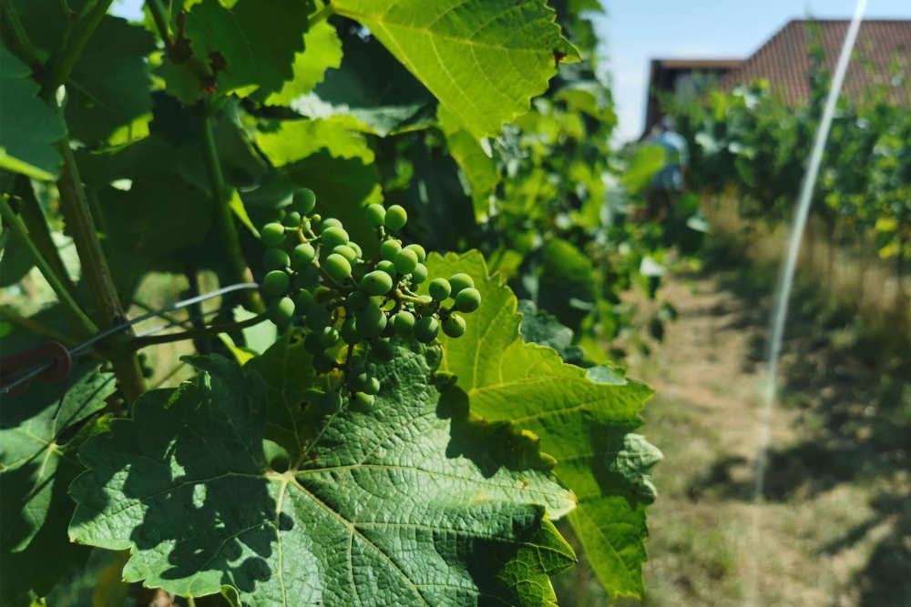 Wijngaard de Kroon