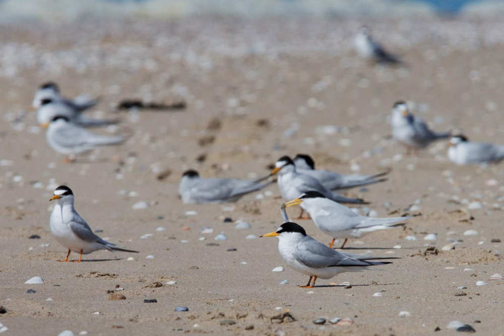 De Hors, little terns