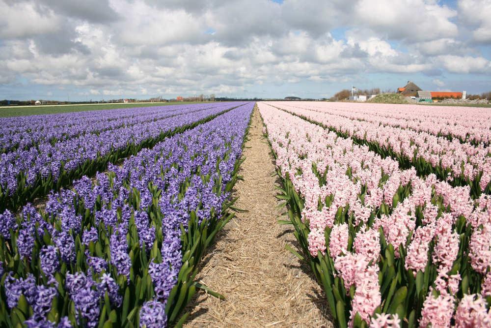Den Hoorn, flower field