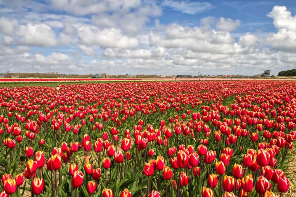 Den Hoorn, Tulips field