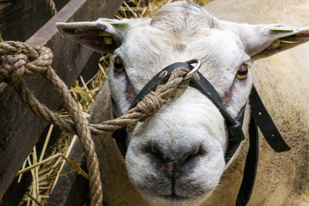 Tag des Schafes, Texel