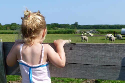 Little Lamb Walk