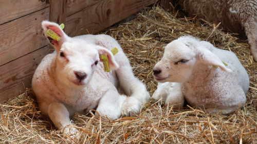 Sheep farm De Waddel
