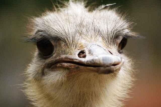 Struisvogelkwekerij van Le Doneu