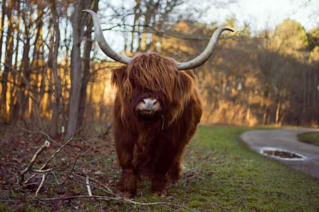 Spot de Schotse Hooglander