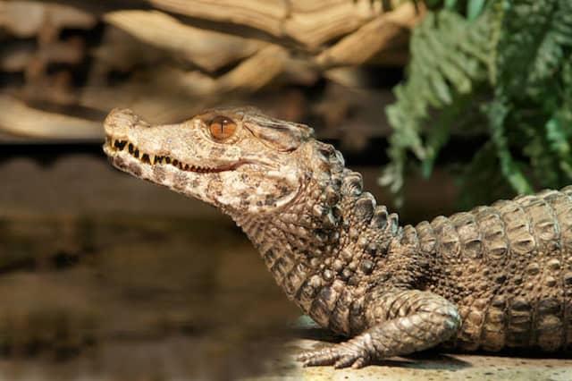 Reptielenhuis de Aarde Kaaiman
