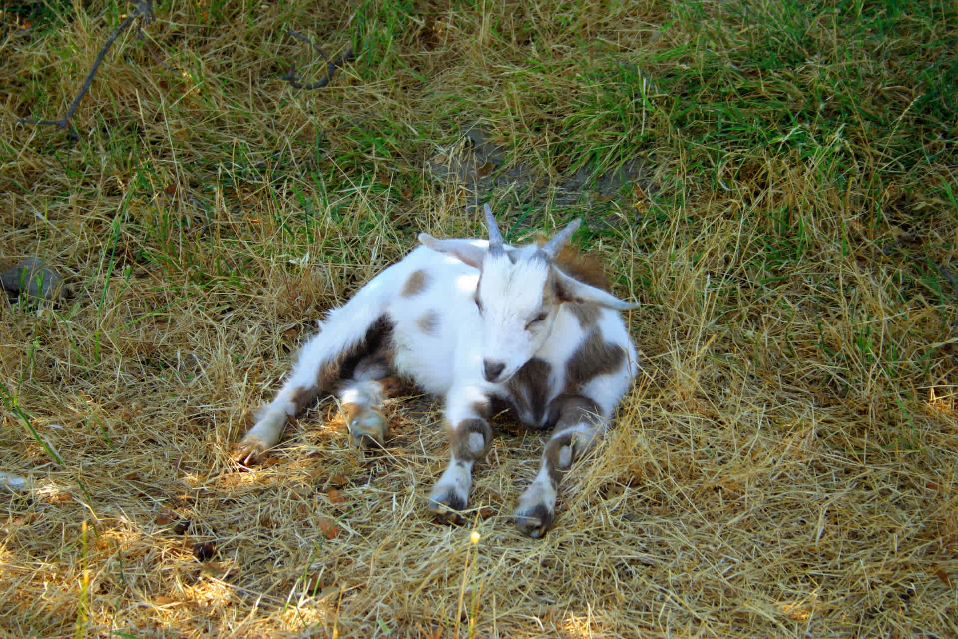 Goat farm De Mekkerstee