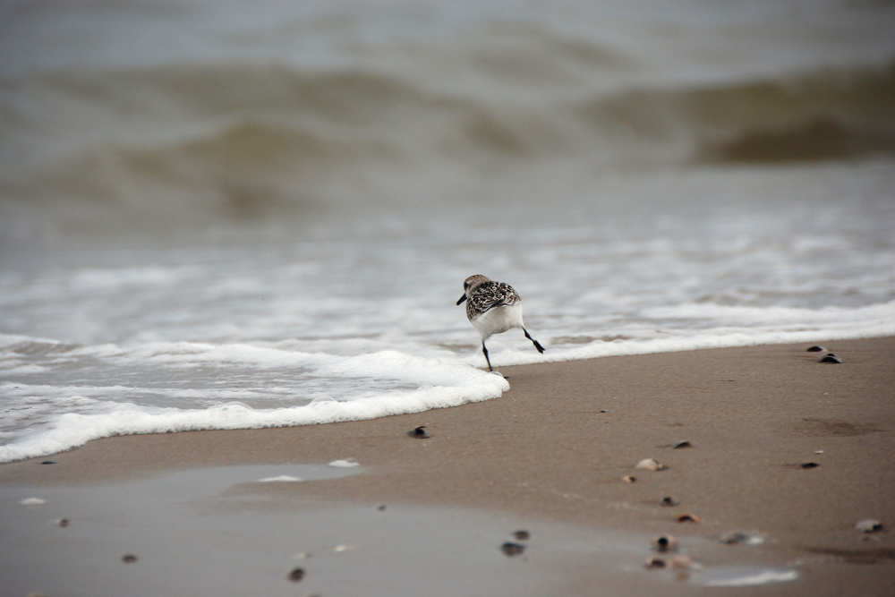 vogel, strand