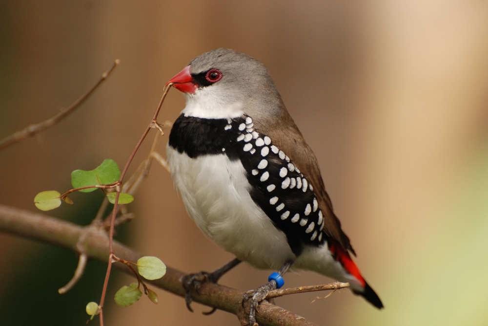 Finkenvogel